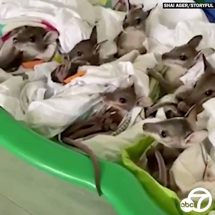 Abc7 Southern California On Instagram Helping Hand An Animal Rescue Group In Australia Is Now Caring For A Group O In 2020 Animal Rescue Australian Wildlife Animals