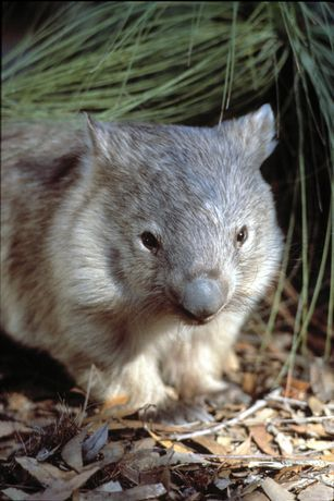 Common Wombats are a solitary animal, coming together only for breeding, which can occur almost any time of year. Usually one joey is born, approximately 30 days after mating occurs.