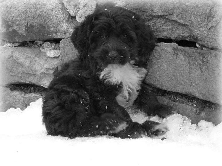Kybra Oreo's puppy now in Newfoundland www.kybrakennels.ca