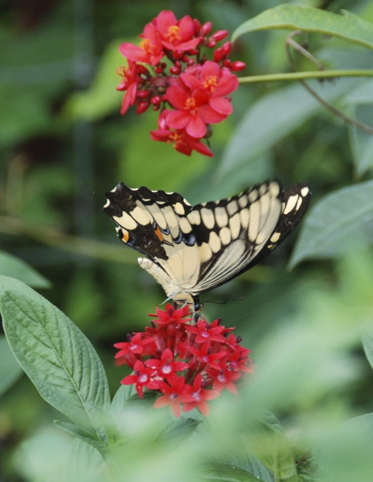 Giant Swallowtail Butterfly Nectaring On Red Flower In Butterfly Garden  Designed By Brent Knoll Of Knoll