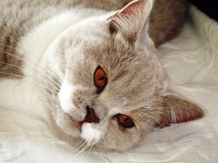 British Shorthair British shorthair, Cat breeds, Cats