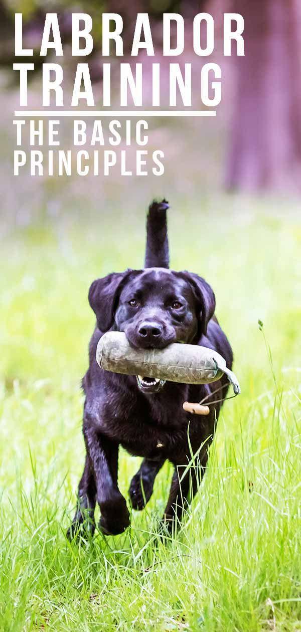 Basic Labrador Training Principles Labrador Dog Psychology