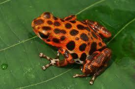 Dendrobates pumilia en la Isla de Bastimentos - Bocas del Toro - Panamá