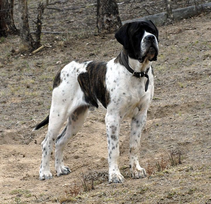 Pied English Mastiff - Gammonwood Magnum Opus (brindle piebald Mastiff) |  Rare Breeds | Pinterest | English, English mastiffs and Magnum opus