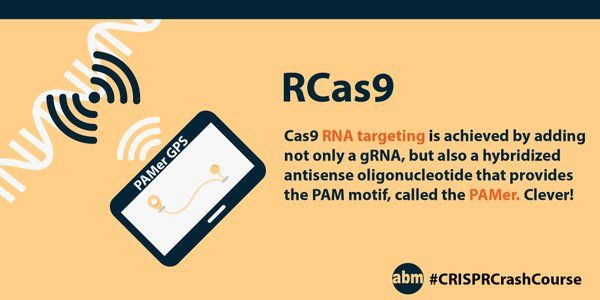 Scientists from UC Berkeley cleverly engineered a PAMer sequence so that a PAM is provided to trick Cas9 into binding RNA. This expands CRISPR's reach into the world of RNA editing. #CRISPRCrashCourse #CRISPR