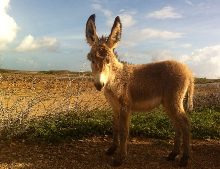 Photo by Marian Walthie - a beautiful wild donkey foal on the island of Bonaire. Keep the donkeys free!