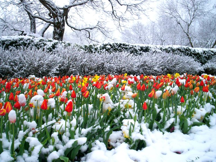 Dallas arboretum tulips caught in a late winter snow snow garden winter winter wonderland for Tulip garden in texas