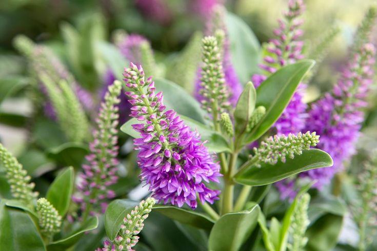 Voor tuinliefhebbers en voor onze gevleugelde vrienden presenteert Addenda deze zomer haar complete Hebe-collectie met nectarrijke bloempluimen. Juist