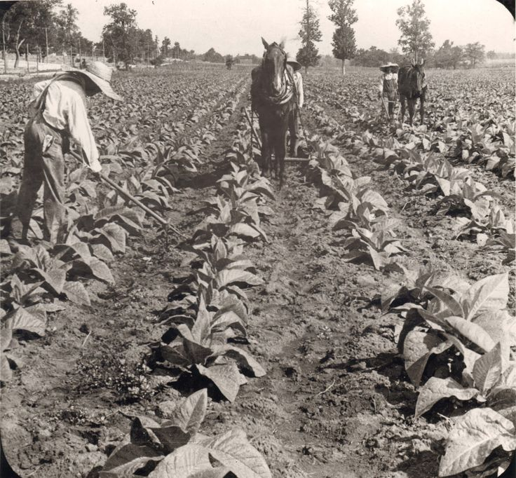 Cultivation of tobacco