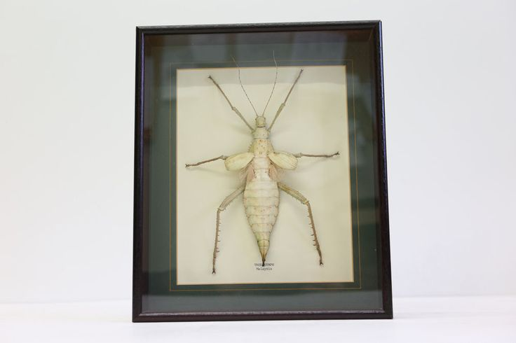 Taxidermy Giant Jungle Nyphm - Heteropteryx dilatata - 23 cm - Large Insect