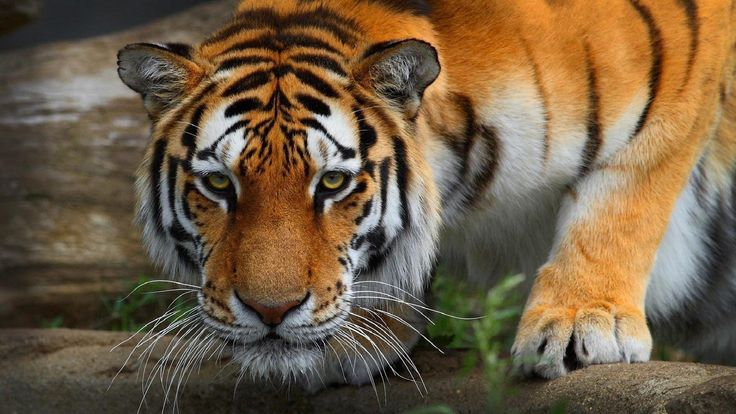 Desktop Hd Tiger Attack Pics