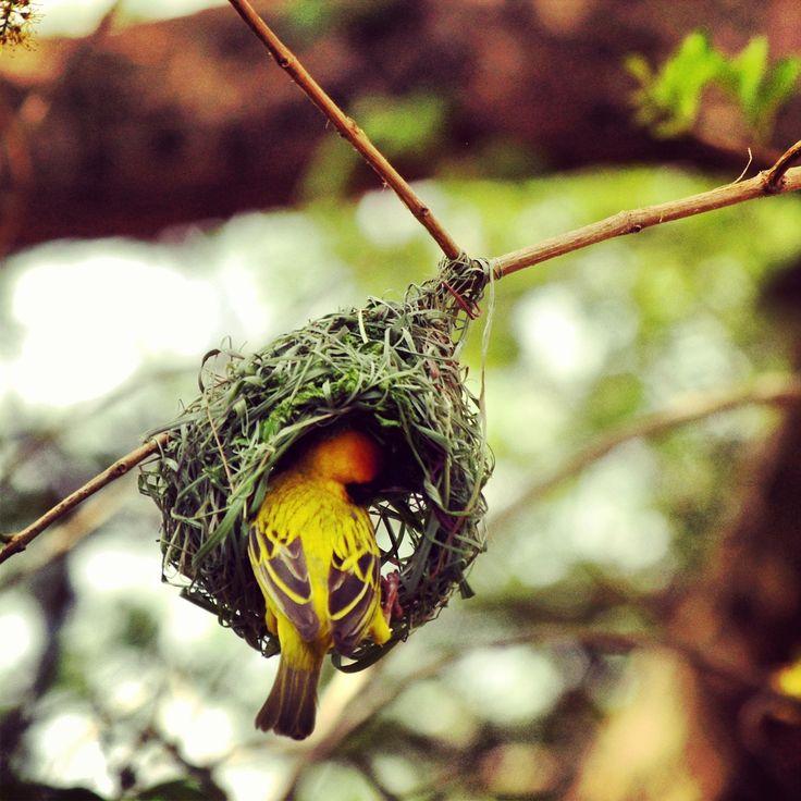 Lesser masked weaver building a gorgeous nest