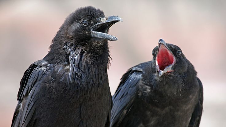Ravens can recognize social order outside of their own communities — NOVA Next   PBS