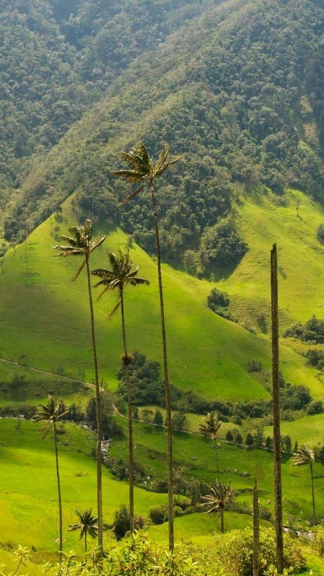 Cocora Valley, Colombia. Las palmas del valle del Cocora, y la trucha con alcaparras tambien!  Colombia Paisajes  Oplysninger om vores hjemmeside   https://storelatina.com/colombia/travelling  #colombiana #كولومبيا #కొలంబియా #Kolumbi