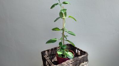 Rýmovník: Léčivá pokojová rostlina, která odpuzuje hmyz