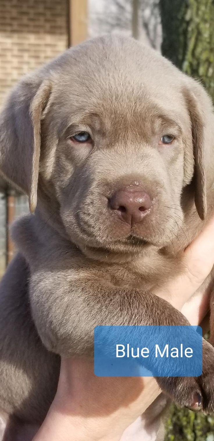 Silver English Lab Puppies Black English Labrador