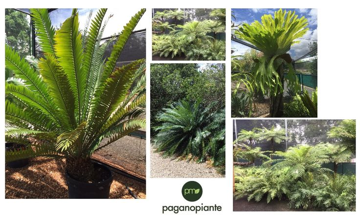 Green palette of Australian varieties of Cycas and ferns. From Katherine to Brisbane we pick up all shade of green we can.
