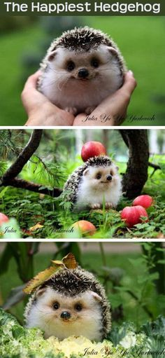 The Happiest Hedgehog cute animals adorable animal pets baby animals hedgehog funny animals