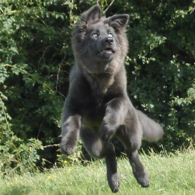 Enakai, our solid blue gsd, is 5 months!! - German Shepherd Dog Forums