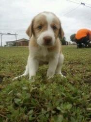 Hazel is an adoptable Golden Retriever Dog in Lubbock, TX. Hazel is a 6 week old female Golden Retriever/Border Collie mix. She was found out in the country with her siblings and mom. Her adoption fee...