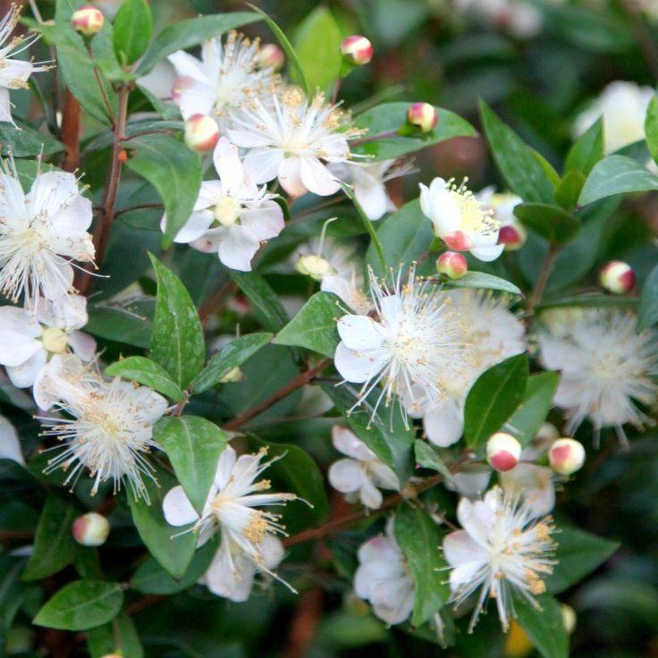 Myrtus Communis Common Myrtle In 2020 Evergreen Plants Myrtle Flowering Shrubs