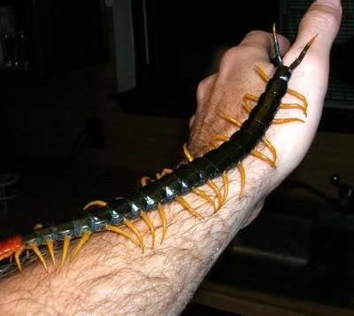 YES, it is a Giant Texas Red Centipede  YES, they have a dangerously bad bite  YES, it is real and alive