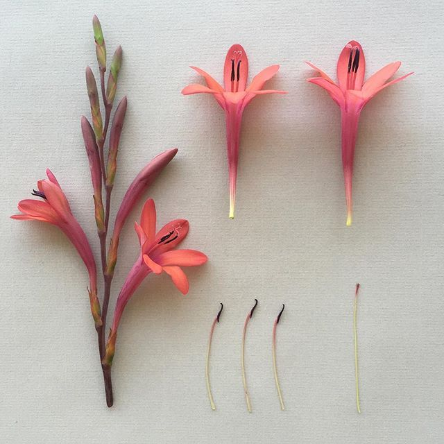W A T S O N I A . collected at Bushman Rock. #botanicaldeconstruction #botanicalstudy #watsonia #harare #zimbabwe