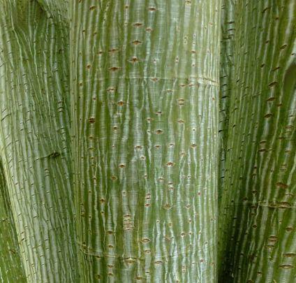 Acer pensylvanicum // Moosewood