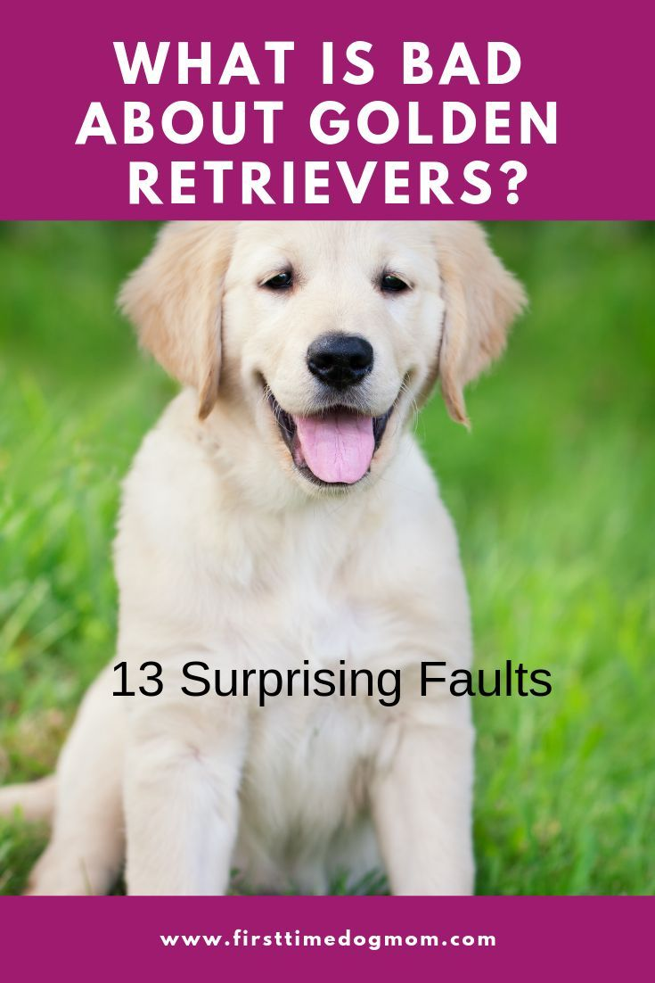 What Is Bad About Golden Retrievers In 2020 Golden Retriever