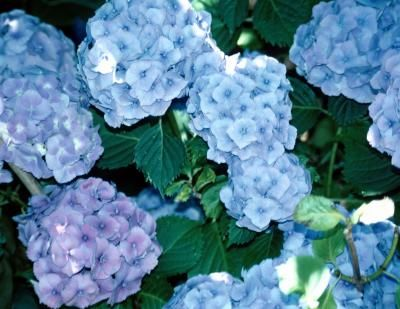 Shrubs for Morning Sun (Hydrangea spp.), thrive in cool, moist conditions and do best when exposed to morning sun, but protected from the harsh rays of afternoon sunlight. Try Hydrangea quercifolia, or the oak leaf hydrangea. This plant features large panicles of white flowers that bloom in the spring. In the fall, the leaves turn bright orange and red.