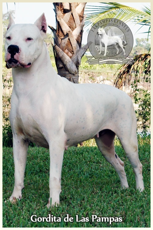 25+ best ideas about Dogo Argentino For Sale on Pinterest ...