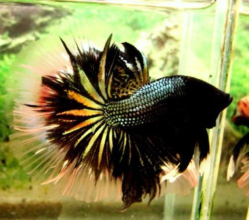 1542 best images about by the sea are you the alfa or for Fish that can live with betta fish