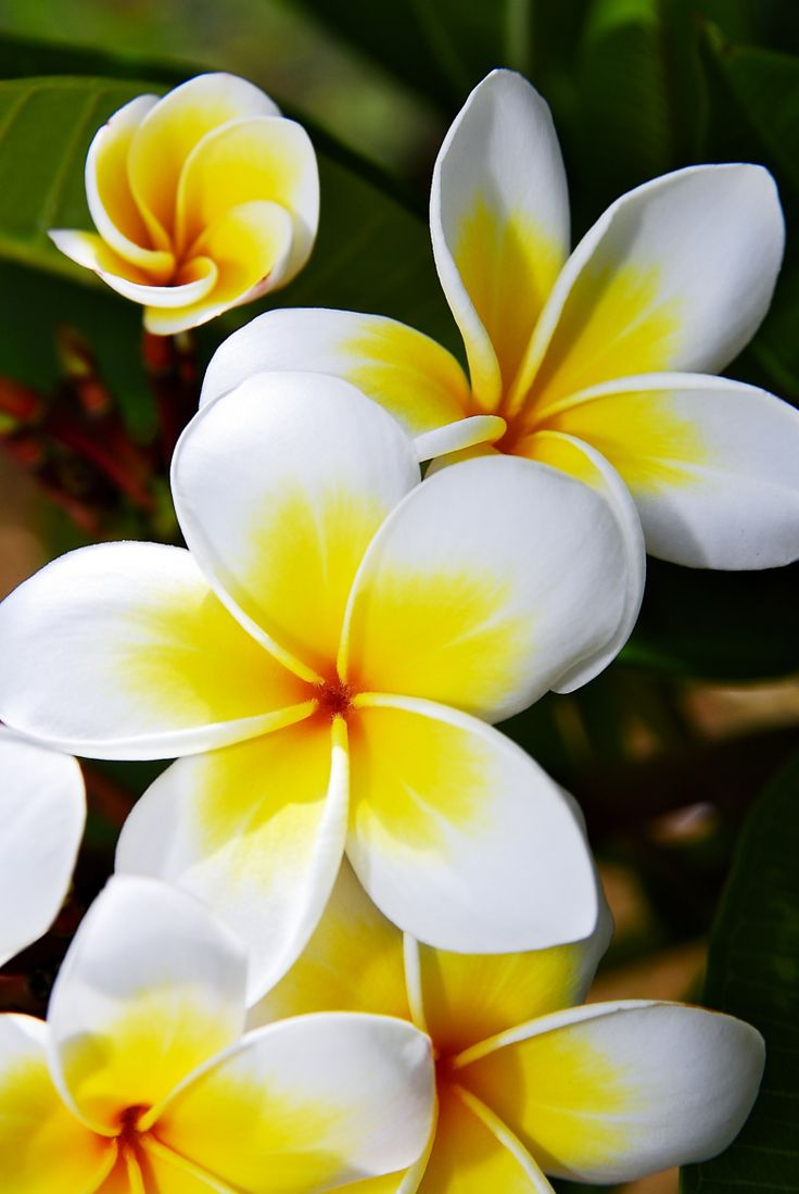 Tropical Flower On Koh Samui Thailand: 66 Best Champa Flower Images On Pinterest