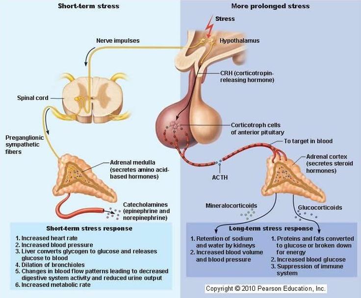 36 Best Adrenal Images On Pinterest Adrenal Glands Endocrine