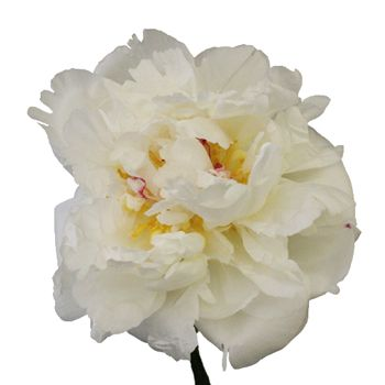 White peonies- so fluffy and big for great contrast against dark anemones!