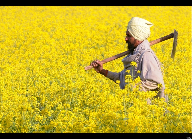 An Indian farmer Sukhwinder Singh holds a shovel as he walks through his mustard field in a village near Muktsar on January 2 , 2012, on the eve of Indian Festival 'Basant Panchami'. The Basant Panchmi Festival celebrates the onset of spring, marking the beginning of a new life as yellow mustard flowers start to bloom. (NARINDER NANU/AFP/Getty Images)