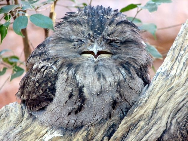"""<b>It's important that you get to know these adorably expressive birds.</b> Not to be confused with owls, the <a href=""""http://go.redirectingat.com?id=74679X1524629&sref=https%3A%2F%2Fwww.buzzfeed.com%2Fcatesish%2Fintroducing-the-frogmouth&url=http%3A%2F%2Fen.wikipedia.org%2Fwiki%2FFrogmouth&xcust=1566672%7CBFLITE&xs=1"""" target=""""_blank"""">frogmouth</a> is a nocturnal bird native to Southeast Asia and Australia."""
