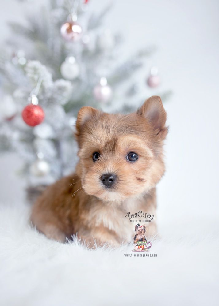 Golden Yorkie Puppy For Sale 443 Yorkie Puppy For Sale Puppies
