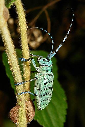 ˚Longhorn Beetle (Anoplophora beryllina, Cerambycidae)