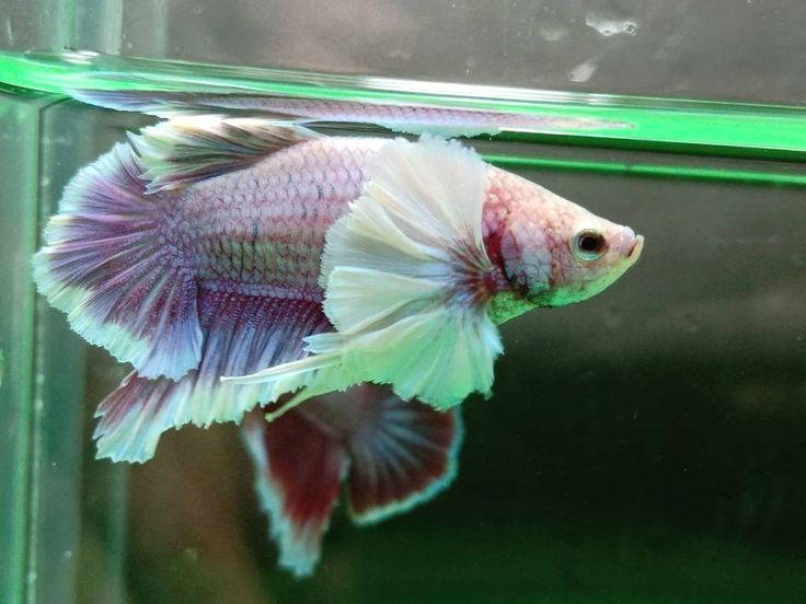 How Long Do Betta Fish Live Educational Things To Know Life Span Of Male Female Betta In 2020 Betta Fish Betta Fish Types Betta
