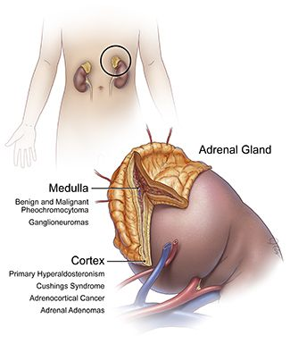 Types of Adrenal Gland Tumors | Facts & Information | MD Anderson Cancer Center