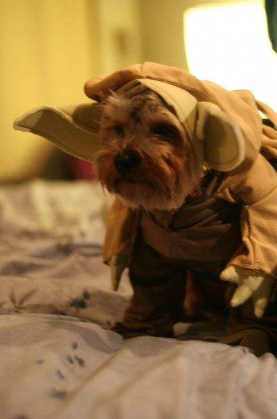 A yorkie yoda...too cute: