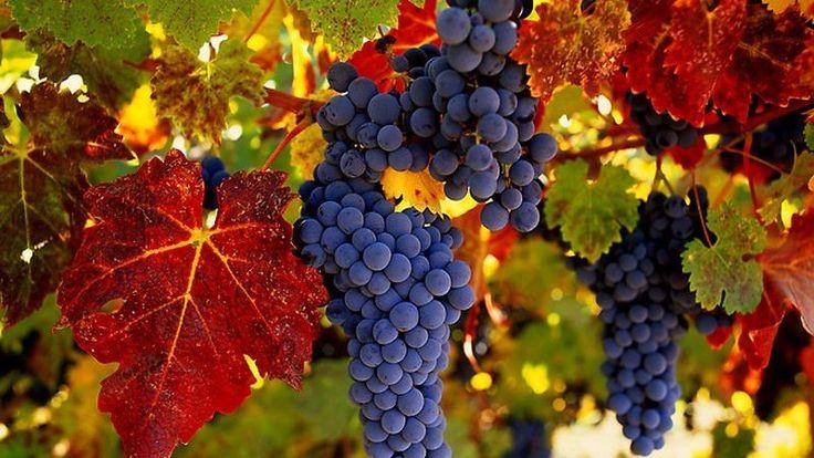 Дорога к винограду — Клуб практиков «Жизнь на земле»