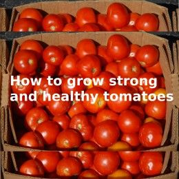 All About Watering Tomatoes: How to Water Tomato Plants the Right Way