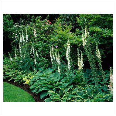 Neatly manicured border (look at that lawn edge!) - Digitalis with mixed Hostas.