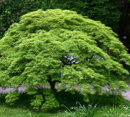 Mature Viridis Laceleaf japanese maple