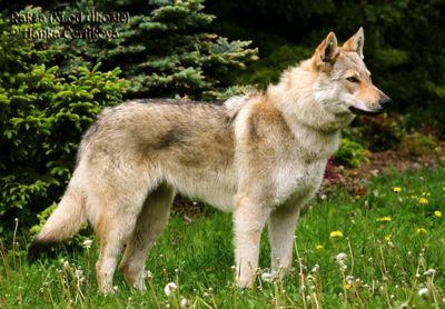 Czech Wolfdog, my future best friend.: German Shepherd Dogs, Wolf Dogs, Czech Wolfdog, Czechoslovakian Wolfdog, Pet, Biology Experiment, Google Search, Rare Dogs Breeds, Animal