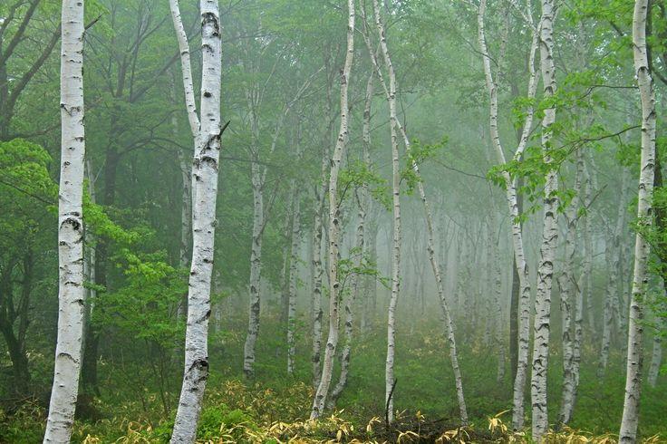Swinger of birch trees