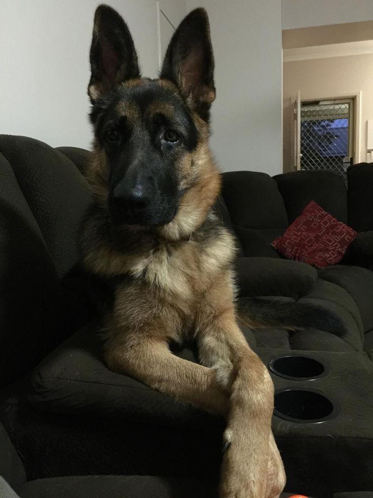 german-shepherd-puppy-on-his-lounge #GermanShepherds