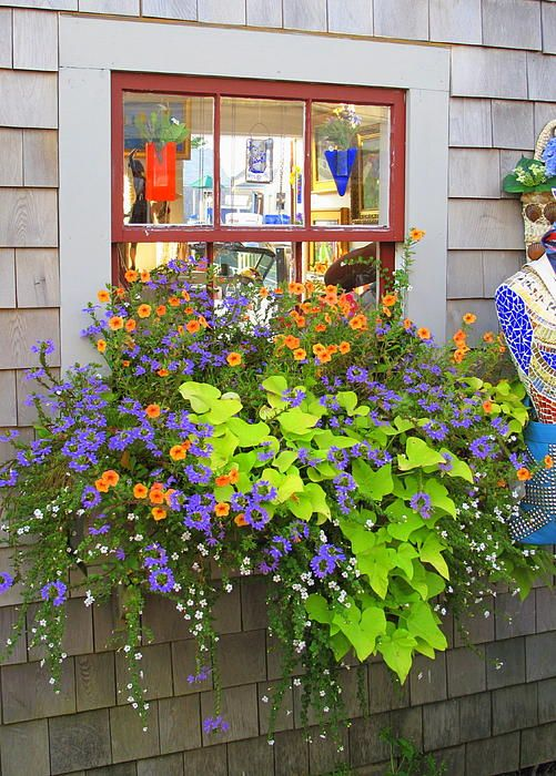 Nantucket window box filled with sweet potato vine, scaevola, orange trailing petunias and bacopa against gray shingle siding.